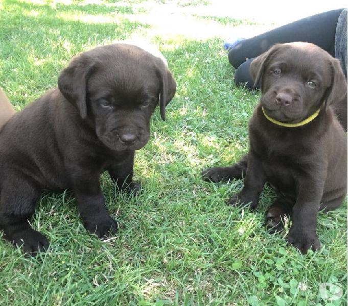 Vendo cuccioli di labrador chocolat