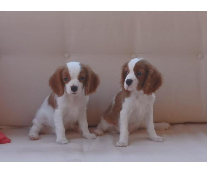 Cuccioli maschi di cavalier king