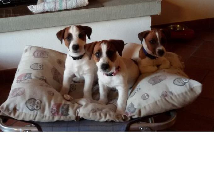 Cuccioli Jack Russell Pelo Animali Ottobre Clasf