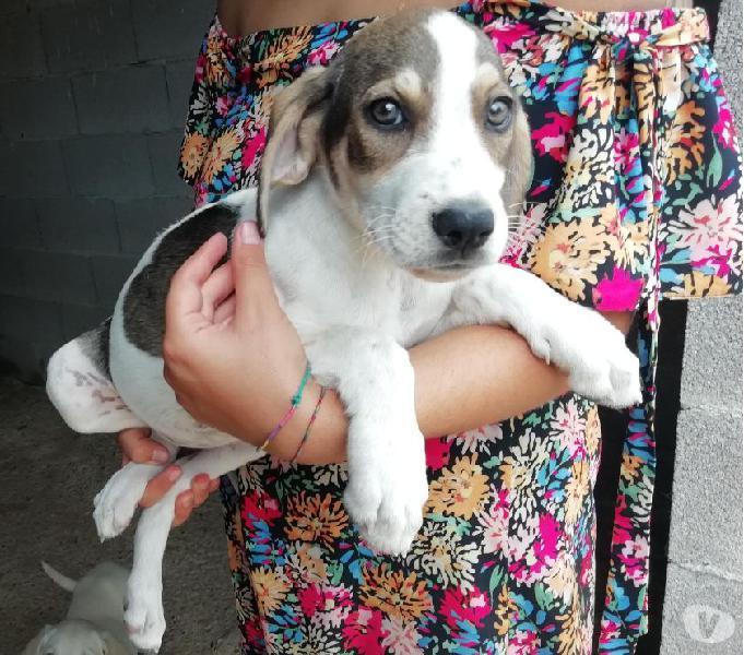 Meravigliosi cuccioli mix labrador 2,5 mesi
