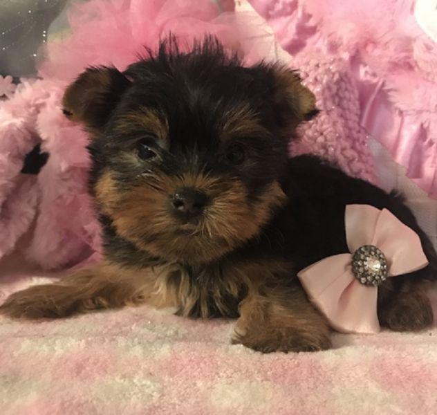 Regalo cuccioli di yorkshire terrier mini toy
