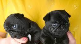 Carlino,cuccioli di taglia piccola cane carlino cuccioli