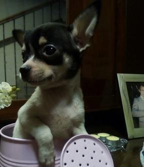Cucciolo chihuahua toy cane chihuahua a pelo corto
