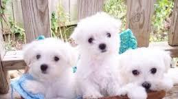 Maltese con pedigree cane maltese cane maltese sondrio