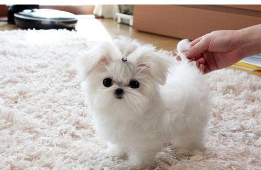 Maltese cuccioli cane maltese cane maltese reggio emilia