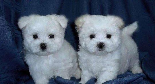 Maltese cuccioli di due mesi cane maltese cane maltese