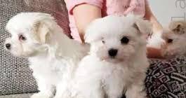 Maltese, cuccioli di taglia piccola cane maltese crotone