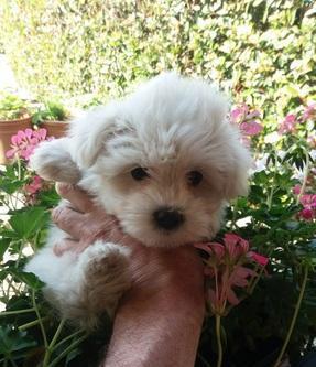 Maltese toy cuccioli cane maltese