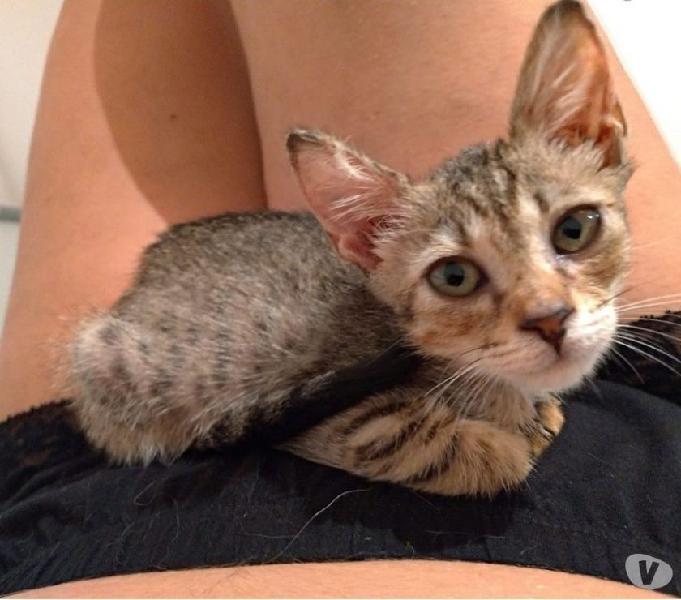 Metzli tenera gattina