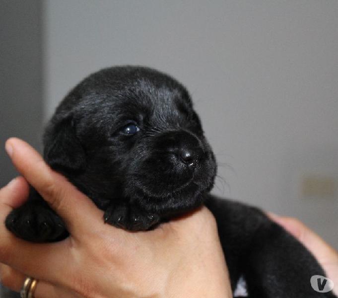 Cuccioli di labrador con pedigree