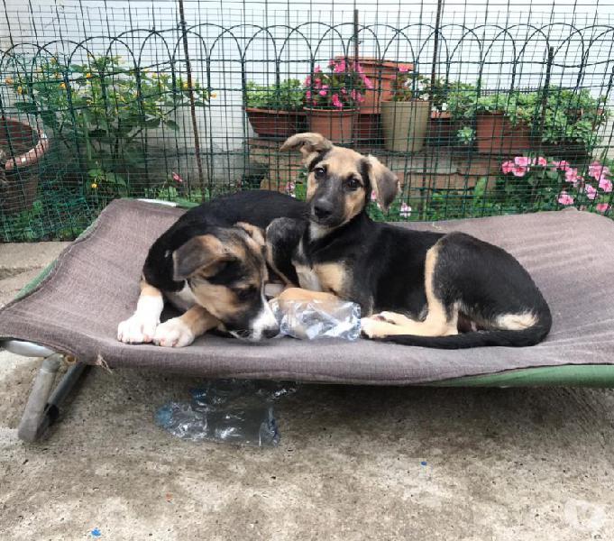 Pastore tedesco incrocio, ariel e bacco cuccioli di tre mesi