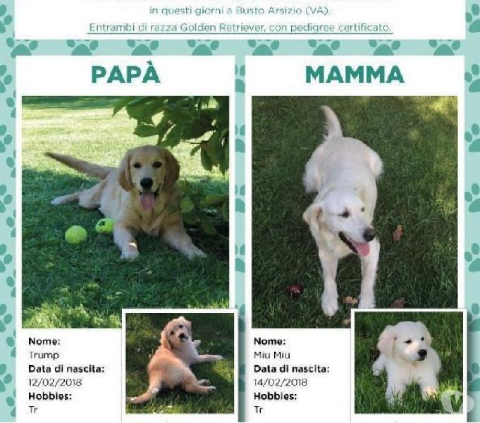 Vendo cuccioli di golden retrevier con pedigree