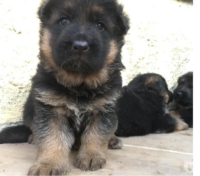 Cuccioli pastore tedesco a pelo lungo
