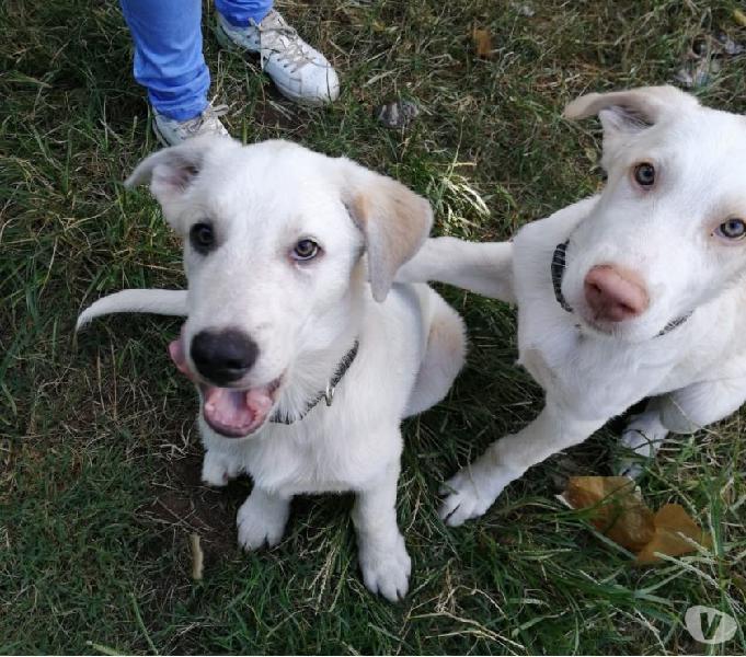 Akis e ronny cuccioli mix labrador