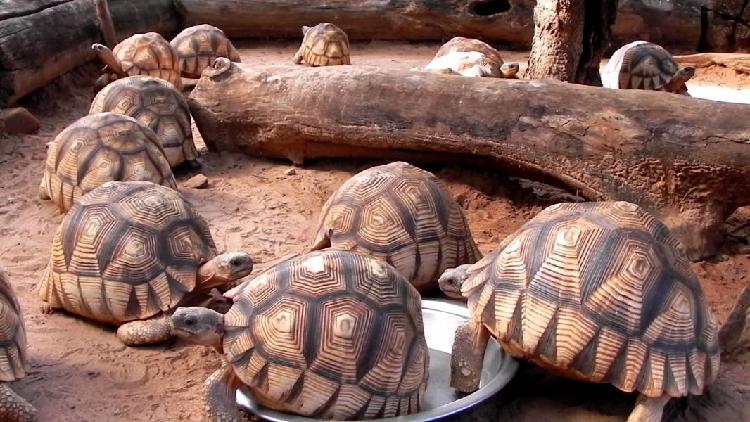 Sano tartaruga radiata Geochelone (T. hermanni boettgeri)