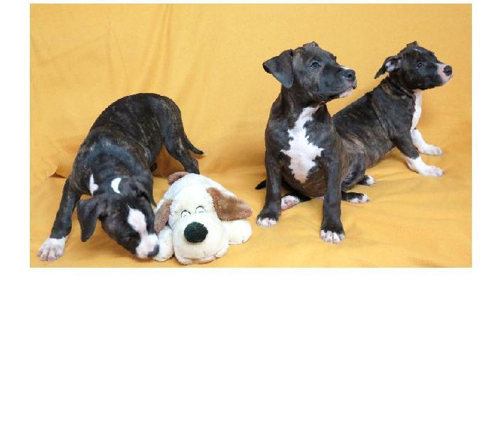 Cuccioli american staffordshire terrier (amstaff)