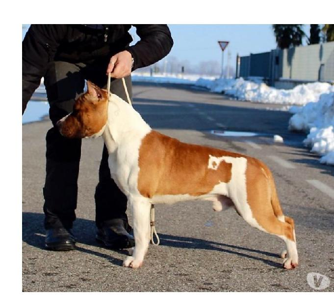Cuccioli american staffordshire terrier