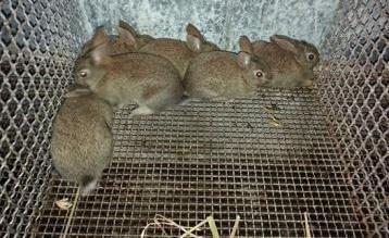 Conigli puri