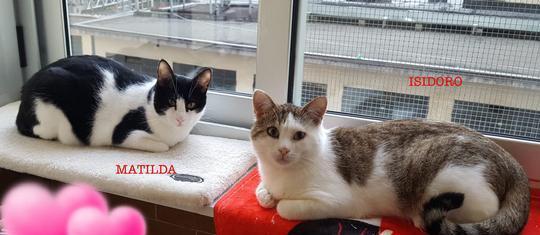 DUE CODE MEGLIO DI UNA Gatto Europeo Torino