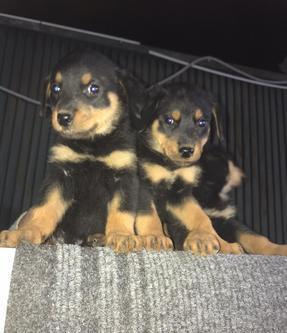 Ultimi 2 cuccioli di Rottweiler femmina Cane Rottweiler
