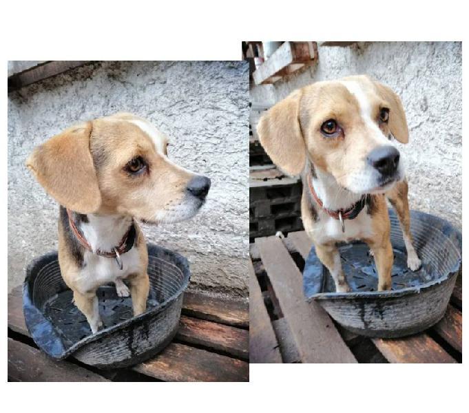 Viola 1anno beagle pura
