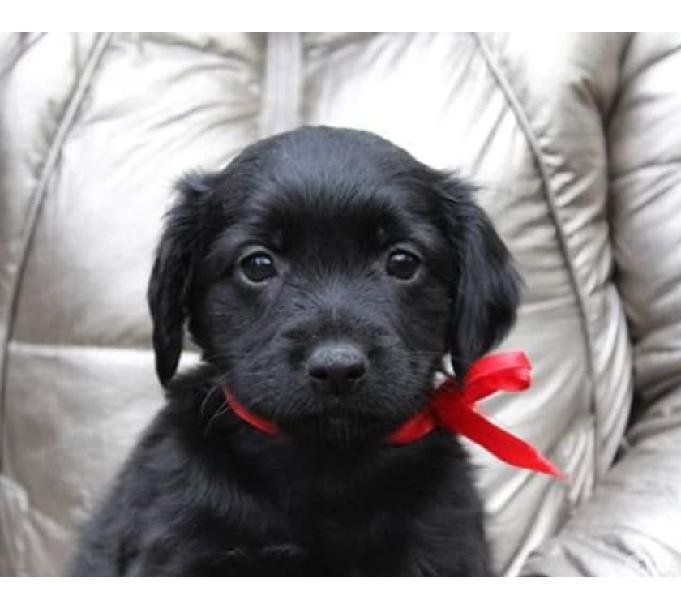 Miko simil labrador 2 mesi in adozione