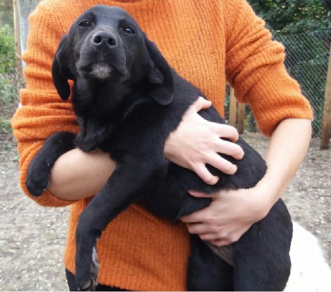 Cucciola femmina simil labrador nera