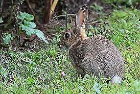 Conigli da caccia selvatici