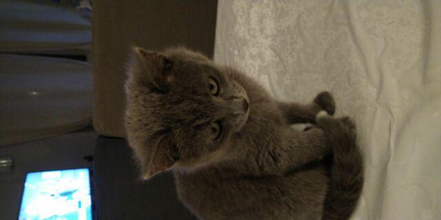 Gattino simil certosino