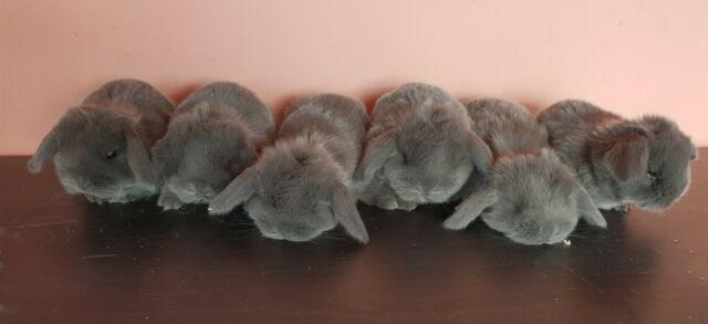 Cuccioli di coniglio ariete nano blu di vienna