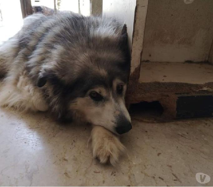 Laika, una bellissima husky molto affettuosa e coccolona