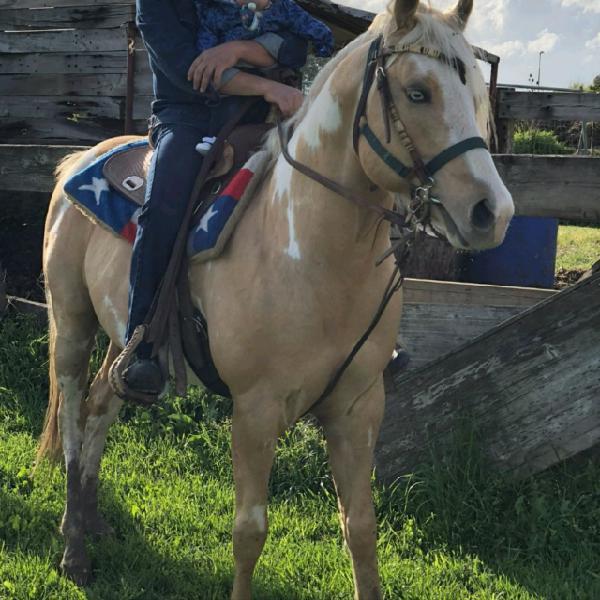 Cavallo palomino stallone montecarlo ranch
