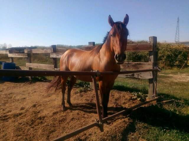 Quarter e paint cavallo busking montecarlo ranch