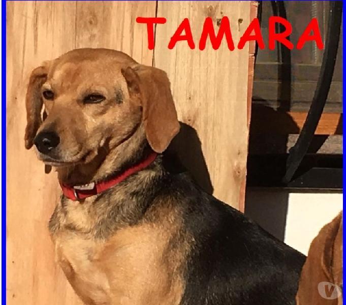 TAMARA SIMIL BEAGLE 4 ANNI