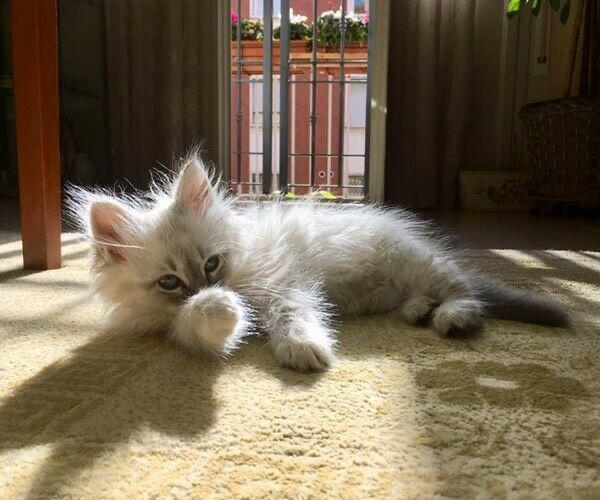 Cuccioli gatto siberiano ipoallergenico