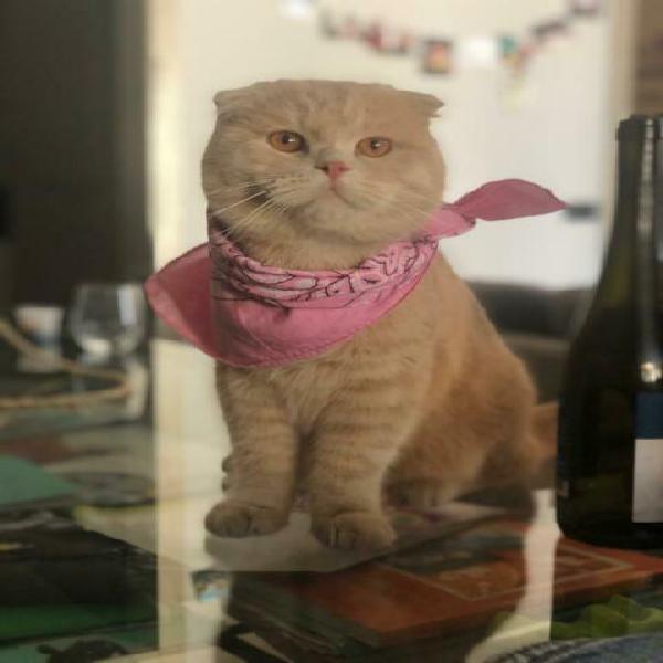 Gatto scottish fold color beige disponibile per