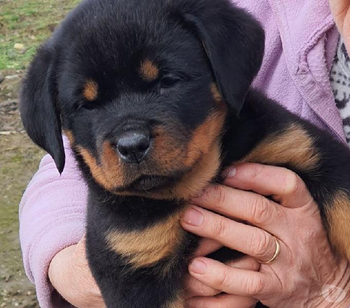 Cuccioli di Rottweiler Maschi