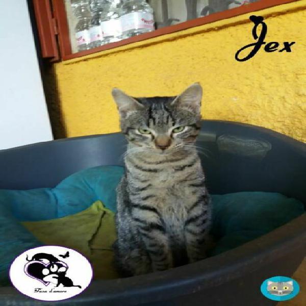 Jex micio tigrato in adozione!