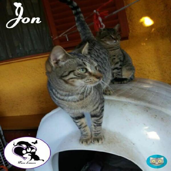 Jon micio tigrato in adozione!