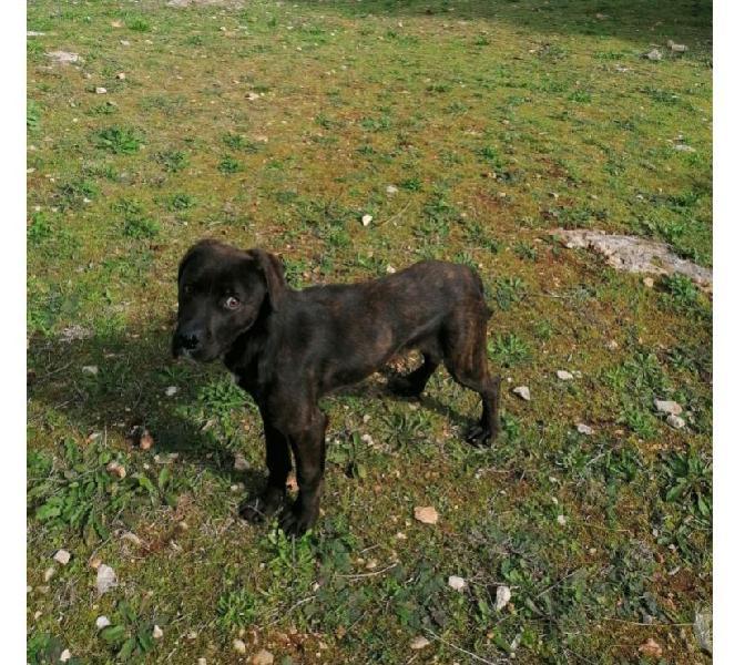 Incrocio cane corso cucciolo bellissimo cerca adozione