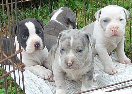American pitbull terrier ukc blu/fawn/ tricolor cane bull