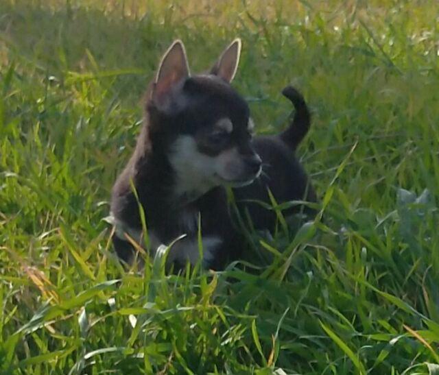 Chihuahua femmina di 90 giorni