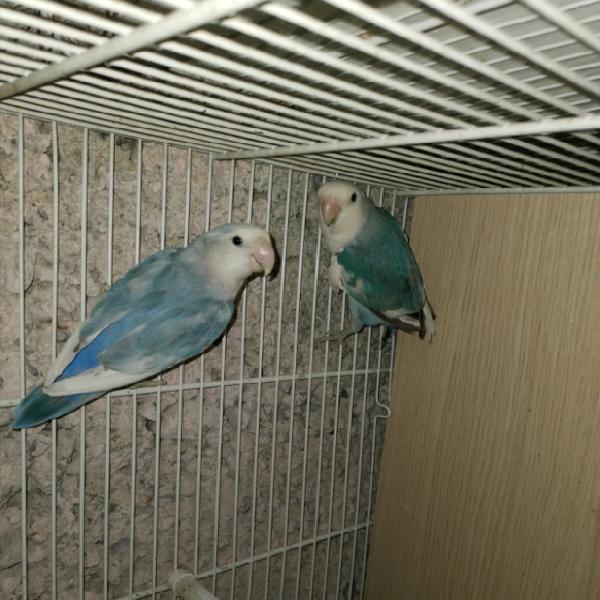 Coppia di inseparabili pezzati blu