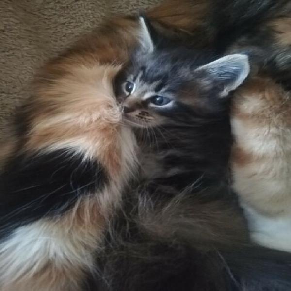 Gattini puri razza maine coon