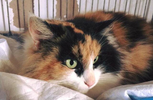 Gattina 2 anni pelo lungo