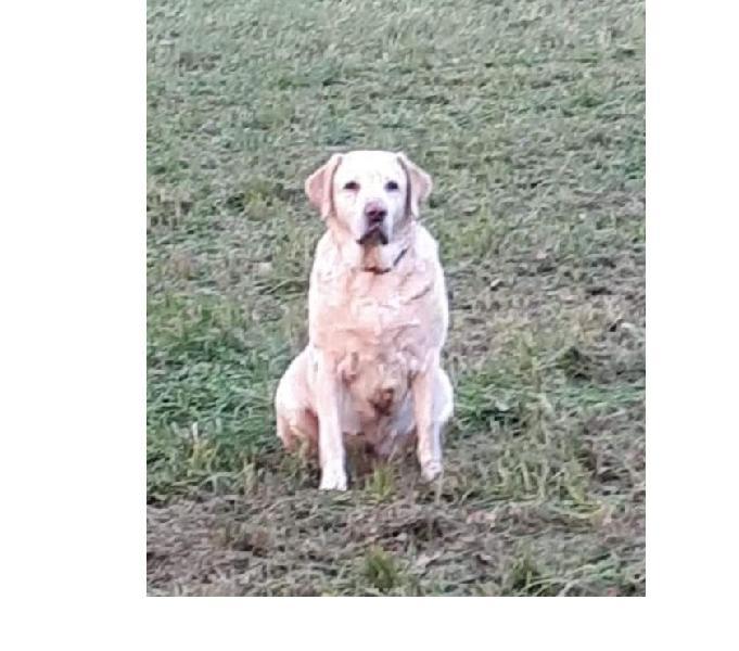 Labrador 10anni ottimo carattere URGE CASA MILANO