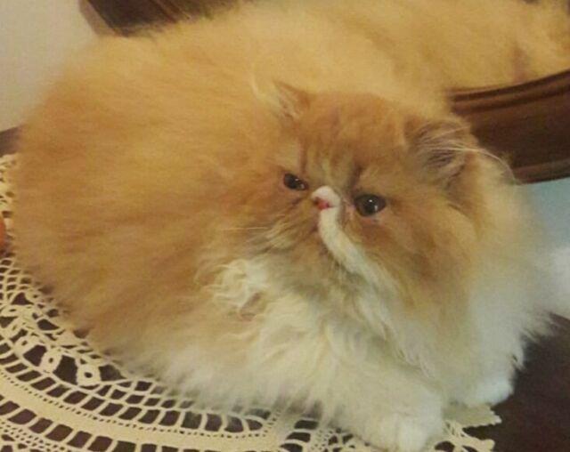 Gatta razza persiana