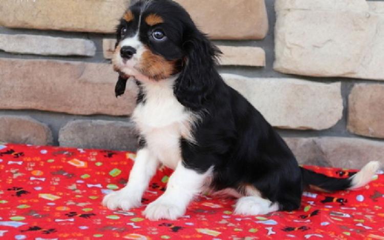 Regalo cavalier king charles spaniel cuccioliato disponibili