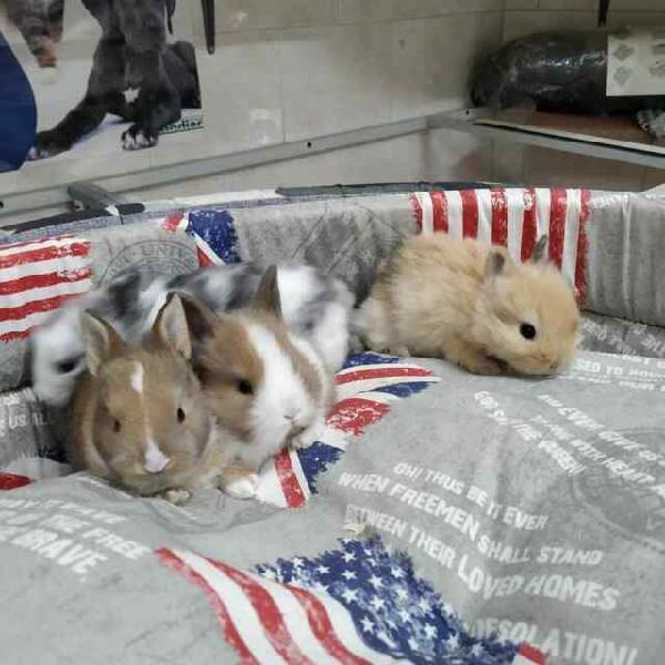 Conigli nani piccoli