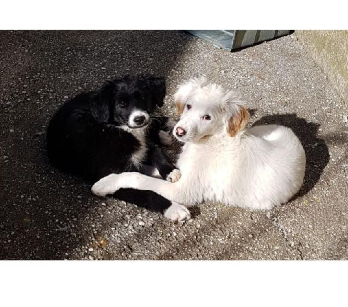 Due cucc. inc. border collie cercano casa, in adozione